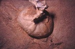 Crustacea Urchin