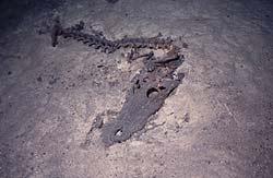 Crustacea Croc